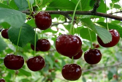 Вишня — ягода молодости, здоровья, стройности