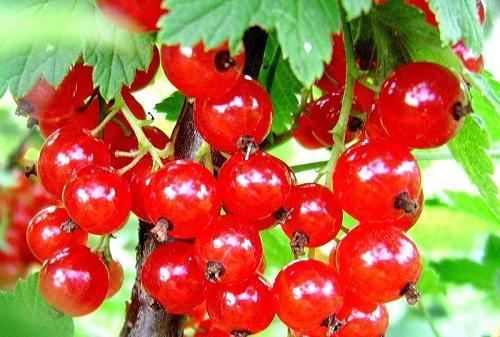 Красная смородина в лечебных целях