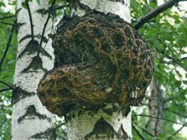 Чага — целебный березовый гриб