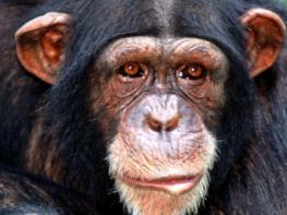 Էգ շիմպանզեին հղիացրել են մարդու սերմնահեղուկով. տեսեք, թե ինչ տեսք ուներ ծնված արարածը (Photo)
