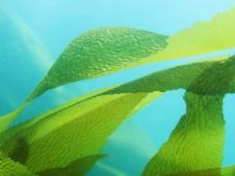 Экстракт морской водоросли может увеличить продолжительность жизни