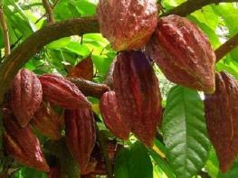Великая польза какао: дар индейских богов